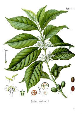 Cà phê chè - Arabica Buôn Ma Thuột