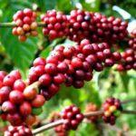 Cà phê Buôn Ma Thuột – Quá trình hình thành và phát triển