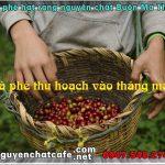 Cà phê hái thu hoạch vào tháng mấy ?