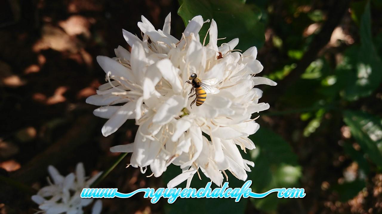 Những con ong giúp mùa hoa cà phê đậu trái, đơm bông